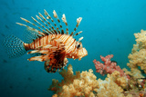 Lionfish or Turkeyfish (Pterois Volitans), Indian Ocean, Andaman Sea. Photographic Print by Reinhard Dirscherl