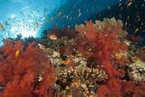 Red Soft Corals (Dendronephthya) Photographic Print by Reinhard Dirscherl