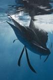 Atlantic Sailfish (Istiophorus Albicans) Hunting Sardines, Isla Mujeres, Yucatan Peninsula, Caribbe Photographic Print by Reinhard Dirscherl