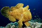 Giant Frogfish (Antennarius Commersonii), Pacific Ocean, Panglao Island. Photographic Print by Reinhard Dirscherl