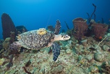 Hawksbill Turtle Tagged with Transmitter Photographic Print by Reinhard Dirscherl