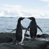 Adelie Penguin Reprodukcja zdjęcia autor Joe McDonald