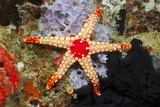Red Mesh Starfish Photographic Print by Reinhard Dirscherl