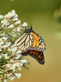 Monarch Butterfly Stampa fotografica di Gary Carter