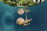 Mastigias Jellyfish (Matigias Papua), Risong Bay, Micronesia, Palau Photographic Print by Reinhard Dirscherl