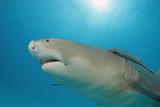 Lemon Shark, Negaprion Brevirostris, Bahamas, Grand Bahama Island, Atlantic Ocean Reproduction photographique par Reinhard Dirscherl
