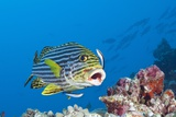 Oriental Sweetlips Cleaned by Cleaner Wrasse, Maldives Photographic Print by Reinhard Dirscherl