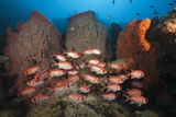 Soldierfish on Coral Reef Photographic Print by Reinhard Dirscherl
