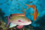 Lyretail Anthias (Pseudanthias Squamipinnis) Photographic Print by Reinhard Dirscherl