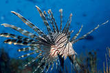 Lionfish or Turkeyfish (Pterois Volitans), Indian Ocean. Photographic Print by Reinhard Dirscherl