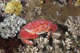 Splendid Pebble Crab (Etisus Splendidus) Photographic Print by Reinhard Dirscherl