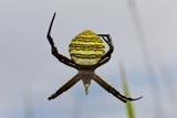 Spider in Web, Baliem Valley, Indonesia Photographic Print by Reinhard Dirscherl