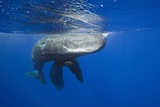 Sperm Whales (Physeter Macrocephalus) Photographic Print by Reinhard Dirscherl