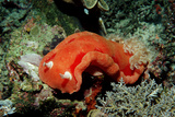 Spanish Dancer Nudibranch (Hexabranchus Sanguineus), Komodo National Park, Indian Ocean. Photographic Print by Reinhard Dirscherl