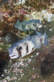 Porcupinefish (Diodon Hystrix) Photographic Print by Reinhard Dirscherl