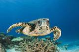 Hawksbill Turtle (Eretmochelys Imbricata) Photographic Print by Reinhard Dirscherl
