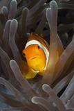 Clown Anemonefish (Amphiprion Ocellaris), Raja Ampat, West Papua, Indonesia Reproduction photographique par Reinhard Dirscherl