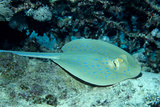 Blue-Spotted Ribbontail Ray (Taeniura Lymma), Red Sea. Photographic Print by Reinhard Dirscherl