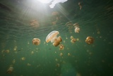Mastigias Jellyfish (Mastigias Papua Etpisonii) Endemic to Jellyfish Lake, Micronesia, Palau Photographic Print by Reinhard Dirscherl