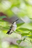 Ruby-Throated Hummingbird Photographic Print by Gary Carter
