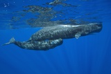 Sperm Whale Mother and Calf Photographic Print by Reinhard Dirscherl