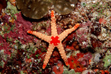 Red-Mesh Starfish (Fromia Monilis), Indian Ocean. Photographic Print by Reinhard Dirscherl