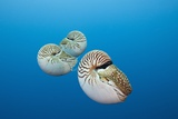 Group of Chambered Nautilus (Nautilus Belauensis), Micronesia, Palau Photographic Print by Reinhard Dirscherl
