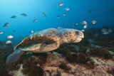 Loggerhead Sea Turtle (Caretta Caretta) Photographic Print by Reinhard Dirscherl