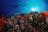 Coral Grouper and Reef, Cephalopholis Miniata, Sudan, Africa, Red Sea Photographic Print by Reinhard Dirscherl