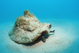 Conch Active on the Sandy Ocean Floor (Strombus Gigas), Bahamas, Atlantic Ocean.\R\N Photographic Print by Reinhard Dirscherl