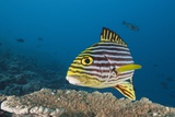 Oriental Sweetlips Photographic Print by Reinhard Dirscherl