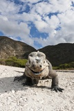 Rhinoceros Iguana (Cyclura Cornuta) Photographic Print by Reinhard Dirscherl