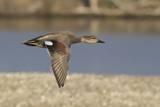 Male Gadwall Duck in Flight Photographic Print by Hal Beral