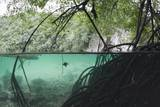 Mangroves Trees above and Underwater Photographic Print by Reinhard Dirscherl