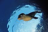 Californian Sea Lion, Zalophus Californianus, Mexico, Sea of Cortez, Baja California, La Paz Photographic Print by Reinhard Dirscherl