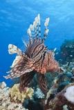 Lionfish (Pterois Miles) Photographic Print by Reinhard Dirscherl