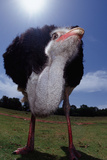 South African Ostrich (Struthio Camelus Australis). South Africa, Addo Elephant National Park. Photographic Print by Reinhard Dirscherl