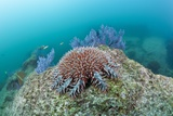 Crown-Of-Thorns Starfish (Acanthaster Planci) Photographic Print by Reinhard Dirscherl