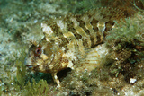 Tompot Blenny (Parablennius Gattorugine), Croatia, Mediterranean Sea. Photographic Print by Reinhard Dirscherl