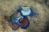 Mating Mandarinfish (Synchiropus Splendidus), Micronesia, Palau Photographic Print by Reinhard Dirscherl