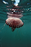 Compass Jellyfish (Chrysaora Hysocella) South Africa Photographic Print by Reinhard Dirscherl