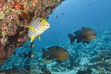 Snapper and Sweetlips in Coral Reef, Maldives Photographic Print by Reinhard Dirscherl
