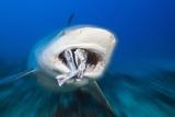 Bull Shark Feeding (Carcharhinus Leucas), Beqa Lagoon, Viti Levu, Fiji Photographic Print by Reinhard Dirscherl