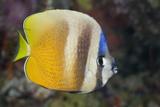 Klein's Butterflyfish (Chaetodon Kleinii) Photographic Print by Reinhard Dirscherl