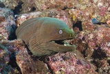 Panamic Green Moray Eel (Gymnothorax Castaneus) Photographic Print by Reinhard Dirscherl