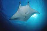 Manta Ray (Manta Birostris), Maldives Islands, Indian Ocean. Photographic Print by Reinhard Dirscherl