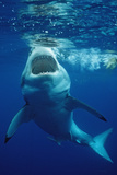 Great White Shark, Carcharodon Carcharias, Mexico, Pacific Ocean, Guadalupe Reproduction photographique par Reinhard Dirscherl