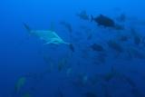 Scalloped Hammerhead Shark School (Sphyrna Lewini) Photographic Print by Reinhard Dirscherl
