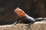 Male Common Agama Head (Agama Agama) Reproduction photographique par Reinhard Dirscherl