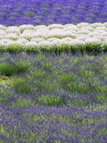 Rows of Lavender Photographic Print by Terry Eggers